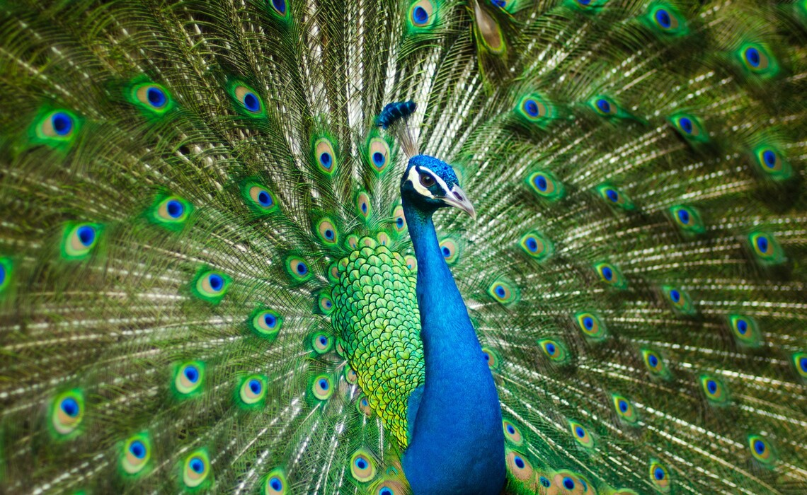 Peacock 2363750 1920